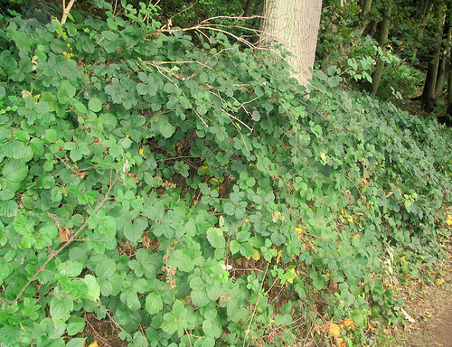 Bramble bushes and compact undergrowth